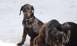 Reg AKC female doberman puppy . Reaised with children and other pets. Already started house breaking and doing great. 9 weeks old and ready for her forever family .Has shots and health papers and dewormed. 700 or I can have her ears done and she will be