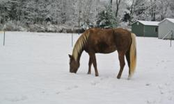 12 yr old 15 hand reg. rocky mt mare. liver colored withcreme mane and tail. loads on trailer and stands for farrier extremely well. gaits beautifully. very loving.not for a beginner rider. has all her shots and coggins. had 2 month of