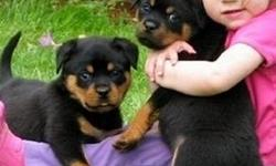 Rottweiler Puppies male and female availabl Text only via (786) x 322 x 6546