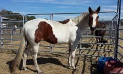 Pretty mare with a pretty head, and lots of muscle. Has been shown in local shows in walk/trot classes. Has given kids lessons. Big Blocky mare, so she would be a good husband horse too. Price $2000 Call 352 463-7364 for more info.