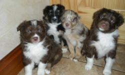 2 FEMALE AUSTRALIAN SHEPHERD PUPPIES. 1 RED AND WHITE 1 BLACK TRI. LOTS OF COLOR ON BOTH AND SUPER CUTE. REGISTERED, SHOTS AND WORMED. 8 WEEKS OLD AND READY FOR A NEW HOME. CONTACT CHRIS 208 220 6162 OR EVENINGS 208 766 4725.