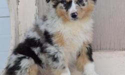I have two beautiful Kennel Club registered Australian shepherd puppies looking for special homes.The boys have been born and raised in the family home with their mother my girl (Bonds moor Candy Kisses) They are used to regular household noises such as