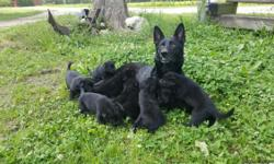 We have all imported, championship bloodlines, highly intelligent dogs. Some of the best in the USA, solid black AND traditional red & black. Go to www.texasselectgermanshepherds.com & check out our upcoming litters. Over a half dozen of our puppies have