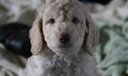 Beautiful F1bGoldendoodles ready for their forever home now They will be fully paper trained. They will be up to date with their shots and vet checked. They are well sosialized with kids and other dogs. We have only 4 girls left out of a litter of