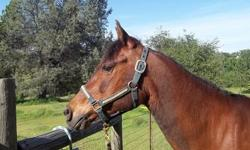 14.2 hands, foaled June 1996 Clips, bathes, hauls, good ground manners, good feet, never had shoes, rode mostly western on trails, never a sick day or a lame step, from good Polish bloodlines. Advanced beginner/intermediate rider as she has