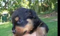 Registered Rottweiler puppies available, Text or Call at (440)-374-7715 for more informations.THANKS