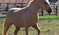 12 year old spotted paso fino gelding. Trail rides, stands for the farrier, bathes, loads in the trailer. Nice temperament. Will lead or follow. 3500.00 or best offer. 404-227-4254 Current Coggins and shoes.