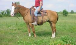 Eleven year old wonderful 15-3 sorrel/white all around gelding that anyone can ride. He is an own son of World Champion RH MR IMPRINT and dam FP FINAL FINESSE.He has been shown at halter and earned 8 points in only2 shows being Grand Champ[on.