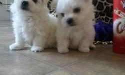 Gorgeous pedigree Maltese from snow-white stud, with champion lines for stud services. Male and Female. All AKC regs and up to date on Shots/wormings and comes with records with enhanced 5 generation pedigree to view and they