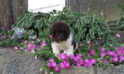Hi! I'm Riley, the cheerful brown and white male Newfoundland AKC! I love to play, run and get all the loving attention I can get. I was born on June 14, 2016. They're asking $1199.00 for me! I'll come home with shots and worming to date.
