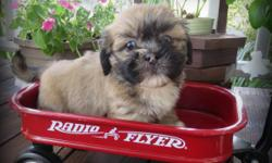 """Meet Rocky""""!! He is one of our adorable little AKC Lhasa Apso male puppies!! This little fellow was born on May 29, 2016. Rocky will come current on vaccinations, worming and also has been micro-chipped. We are asking $750.00 which includes sales"""