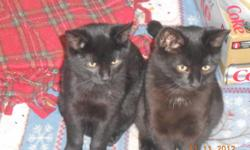 These little darlings are sweet, friendly, purry & playful! They love attention and being held. They are about 6 months old & mostly black. 1 female & 4 males need a loving home quickly. Won't you please open your heart this holiday season? They will fit