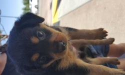 Rott miniature pinscher mix female and males very cute going fast