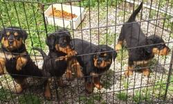 go to this site http://www.pet-classifieds.com/pet13557804.htm  I have 4 female rott pups they r 8 weeks and I am looking to rehome I will let them go with out shots or with shots there is a rehoming fee 200 without shots and 300 with shots also