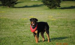 Perfect dog, A man lover, and a child lover. Perfect age to breed he is full blood and ready to stud...Please call 903-229-8916 or 8917.... Male Rottweiller