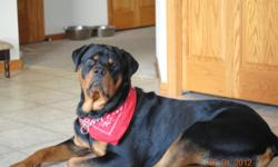 Ready to breed 2 year old. Loves children and men... He's a lover not a fighter... House trained and is great with other