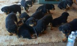 I have adorable full Rottweiler puppies. They have already got their tails dockedand dew claws removedasking 600 for male and 500 for female mom is in site and dad isn't far away mom is American Rottweiler and dad is German Rottweiler