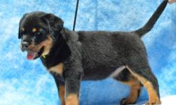 Rottweiler Puppies, Champion bloodline, AKC Register, Dewormed, shots up to date, mother on premises, if interested please call 239-913-9217