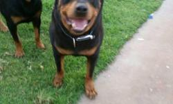 I have a litter of beautiful purebred Rottweiler puppies. Born 61416 males and females available. Range from $650-750 or OBO. Tails are docked and dewclaws removed. These puppies are very healthy and well taken care of. They have great temperaments and
