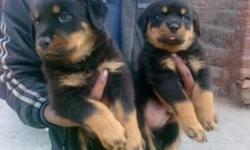 Wow!!! These puppies are unbelievably small and Sassoon cute. They are 12 weeks old . So sweet. They are very happy and playful and like to give kisses and cuddle. My babies are 100% purebred and have all their registration documents, health