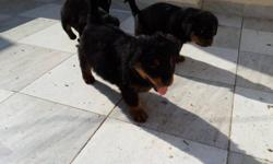 the puppies are very healthy, smart and playful and veterinary come with all necessary documents, they are good with kids and other animals., if interested in getting the cute babies into your home for you and your love ones, do get back for more details.