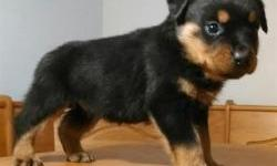 registered Rottweiler puppies for adoption now outstanding lovely puppies male and female available. Puppies will be up to date on immunizations and deworming If you have questions please feel free for more details, email me or send me an sms at