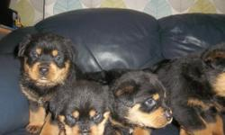 A big healthy litter of 8 chunky rottweiler puppies. We have 5 males for adoption to loving homes and 4 females still available in this litter. Both mum and dad are beautiful example of full blooded Rottweilers. contact if you can take good care of this