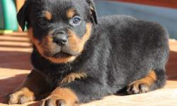 Cute and Adorable Rottweiler Puppies For Adoption. Beautiful Rottweiler puppies, the puppies are current on their  vaccinations and veterinary comes with all necessary documents. They are pure Rottweiler puppies Champion line, which