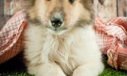 Hiya! I'm Roxie AKC female Collie! I was born on May 2, 2016. I have tri-color soft fur. They're asking $850.00for me ! I'll come home with you shots and worming to date! Temperment,gentle, loyal, friendly, active, intelligent and