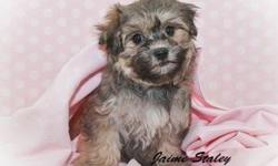 Hello There! My name is Roxy! I am a Female Havanese.I was born on August 20th.,2013. My mom weighs 8 Lbs & my dad weighs 9 Lbs. I have a beautiful brindle fur coat. I am truly precious little gal. One that you will fall in love with.They are asking