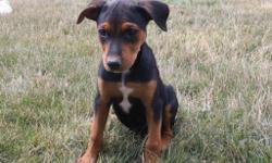 Meet Roxy! She is an black and tan Rottweiler female. She will fill your home with kindness and love. She was born on May 29, 2016. She loves to play with toy and can't get enough attention. She is great around children and other family pets.