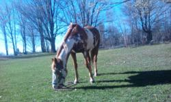 Barn Name: Cimmy Color: Sorrel Overo Foaling Date: May 29, 1999 Sire: Tonto Bar Breeze Dam: RR Impress By Buck  Cimmy is up to date on all vaccinations and coggins. Rides both english and western. Been there, done that type of horse. Reason for