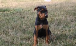 This little one is named Rush and he is a male Rottweiler! He will fill your home with love and happiness. He was born on May 29, 2016. He just can't wait to be part of your loving and caring family. He is wonderful around kids and other pets. They