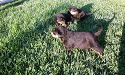 Rutty puppies, They are now ready to go,these puppies are family raised & played with daily by children! They are very well socialized & will make wonderful guardians & companions for you & your family.text or email for more informations regarding them