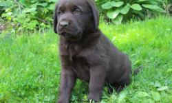 Hey, I'm Sailor! The fun black Male Newfador! I am a designer breed between a Newfoundland and Labrador. I was born on April 11, 2016. Hey do you want someone to take to the beach or the lake with you? You know labradors love water and Newfoundlands