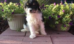Hello! I'm Sailor, the handsome tri-color male Papipoo! I was born on June 4, 2016.. My moma is 15 lb Papillon and my papa is a 10 lb mini poodle. I'll come home with you shots and worming to date! They're asking $495.00 for