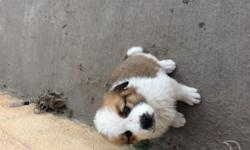 Saint Bernard puppies available females and males deworming and all shots done;Rehoming fee apply. Perfect gift.