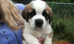 AKC Saint Bernard Puppies Born 4/4/14 Vet and Shots Current