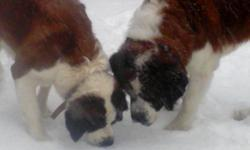 We have a adorable litter of rough coat Saint Bernard puppies. Parents are our family farm dogs they guard livestock and pull wagons. While not known for guarding our saints have done a great job at running off coyotes and raccoon's...ect.. from our