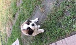 Beautiful pure breed Saint Bernard puppies. 4 weeks old deworming and first setof shots include. Rehousing fee apply. Please text me for more info at 310 404 1116.