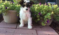 Howdy! My name is Samantha! the sweet tri-color female Papipoo! I was born on June 4, 2016.. My moma is 15 lb Papillon and my papa is a 10 lb mini poodle.They're asking $495.00 for me! I'll come home with you shots and worming to date! I love to