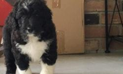 Ciao! I'm Sandra, the female Bernadoodle. I am a designer breed between a Standard Poodle and Bernese Mountain Dog. I was born on June 9, 2016. They're asking $950.00 for me! I'll come with shots and worming to date! The one thing I wish for, is to