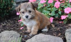 Hey look at me! I am Sandra, the cute as a button tri-color female Morkie! I was born on June 7, 2016 and my parents 9 & 7 lbs. ! I just can't wait to meet my new family. I'll come with shots and worming to date! They're asking $599.00 for