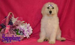 This is Sapphire the Beautiful Cream female F1B Labradoodle. Labradoodles are like a cheerful toddler that never outgrows that joy and willingness to be with you. They celebrate and rejoice each time you walk into the room. They make wonderful companions
