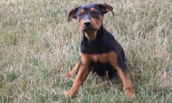 Meet Sasha! She is an black and tan Rottweiler female. She will fill your home with kindness and love. She was born on May 29, 2016. She loves to play with toy and can't get enough attention. She is great around children and other family pets. They are