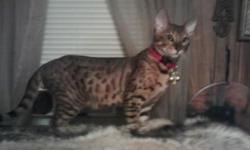 12wk old beautiful,wild and exotic savannah,jungle cat cross kittens,very loving and affectionate outstanding colors and markings,these kitts are going to get large please call 941-879-4979 for more info and photos.we do ship and are members off PayPal