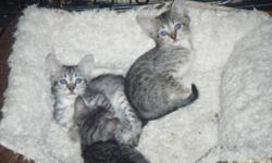 adorable savannah kittens available. pet prices start at $950 to $1500 (fixed) or with breeding rights (intact) starting at $1500 up to $3000 depending on colors, etc. I have 4 females 3 months old will finish last shots within a week. These 4 are F4B's