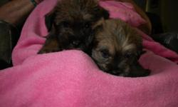 Darling Puppies. Schnauzer/Lhasa Apso Mix. 2 males left. One darker, the other has lighter head. Hardy and small like Lhasa. Smart and Friendly like Schnauzer. Hypo Allergenic. Great with kids. Medium