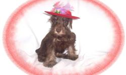This baby girl is dazzling. She is very good natured and full of pep. She is a Schnauzer and a Poodle mix. She would love a family with kids to play with.She is hypo allergenic and has a beautiful non shedding hair coat.She is micro chipped. She comes