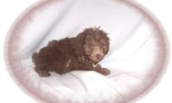 """This baby boy is a beauty! He is very gentle and loves everyone. He is a Poodle and a Schnauzer mix-""""Schnoodle"""". He is ready7 for a new family to call his own.He is micro chipped. He is hypo allergenic and has a nice non shedding hair coat.He comes with"""